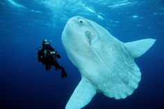All You Want to Know About Ocean Sunfish: Ocean sunfish (Mola mola) found in open ocean, California, USA, Eastern Pacific Ocean