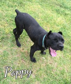 Poppy - THIRD COAST ANIMAL RESCUE in Spanish Fort, AL - ADOPT OR FOSTER - Young Spayed Female Bullmastiff Mix