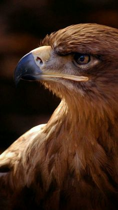 Most current Free birds of prey raptors Thoughts To be a wild birds associated with fodder photography, the main situation the majority of protest concerning Nicolas Vanier, Eagle Pictures, Animal Pictures, Golden Eagle, Mundo Animal, Vintage Birds, Birds Of Prey, Mountain Dogs, Wild Birds