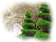 spiral alberta spruce
