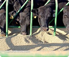 FDA cracking down on cattle operations that use dangerous drugs at illegal doses