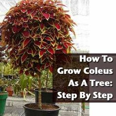 Grow Coleus As A Tree