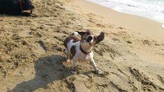 Mini Jack Russel Browny Sonntag! Sonne! ☀ Wasser! Ich liebe es! ♥ #Hundename: Browny / Rasse: #Mini Jack Russel      Mehr Fotos: https://magazin.dogs-2-love.com/foto/mini-jack-russel-browny/ Foto, Hund, Liebe