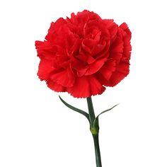 Red Carnation Flower Meaning Symbolism • Love • Distinction • Gratitude • Admiration