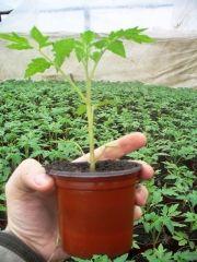 Tehnologie de cultura a tomatelor sau cultivarea rosiilor Herbs, Gardens, Culture, Plant, Tomatoes, Outdoor Gardens, Herb, Garden, House Gardens
