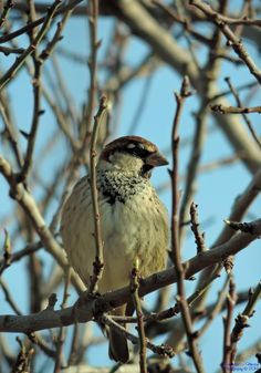 A sparrow on the almond tree in bud by Francesca Murroni Ph on 500px