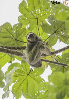 3 toed sloth seen in Manuel Antonio National Park. Click through to find out where to see sloths in Costa Rica: http://mytanfeet.com/costa-rica-wildlife-and-nature/where-to-see-sloths-in-costa-rica-wildlife-nature/