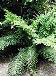 Uddbräken - Polystichum aculeatum I Zetas Trädgård  VÄXTSÄTT: En bred tuvbildande ormbunke med överhängande bladspetsar.  HÖJD: Höjd 40−50 cm.     BLADVERK: Glänsande och något läderartade blad. På stjälkarna sitter tätt med rödbruna fjäll. Vintergrön.  VÄXTPLATS: Halvskugga−skugga. Mullrik och fuktig jord. Gynnas av kalk.  ÖVRIGT: Sällskap: rodgersia, vipprams, storrams, parasollblad. Planteringsavstånd 50 cm.