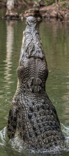 Picture of a mighty crocodile. reptiles Picture of a mighty crocodile Reptiles And Amphibians, Les Reptiles, Cute Reptiles, Crocodile Marin, Crocodile Animal, Crocodile Dundee, Wild Animals Pictures, Animal Pictures, Zoo Animals