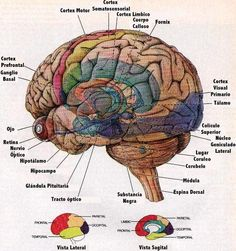 """Nice brain diagram / cartoon showing sub-cortical structures beneath """"transparent"""" surface anatomy. Labels in Spanish. Nerve Anatomy, Brain Anatomy, Anatomy And Physiology, Human Anatomy, Brain Diagram, Ap Psych, Visual Cortex, Spinal Cord, Science And Nature"""