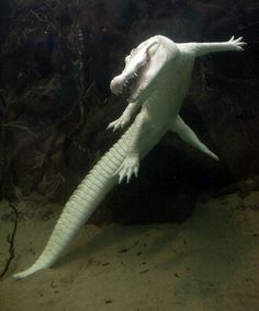 Claude - the California Academy of Sciences' albino alligator  They also had an albino alligator larger than this in Waco, Texas years back. Cool.