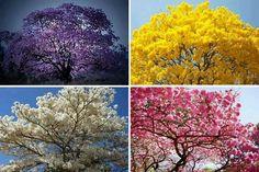 Encante-se com as cores do nosso belo ipê brasileiro!