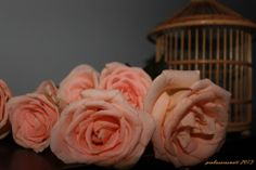peach rose photography