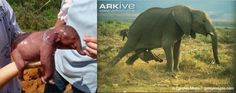 """The first photo is an elephant fetus removed from it's dead mother. Not a newborn """"one minute old"""" elephant baby. The other photo is of an elephant giving birth. Note the size difference."""