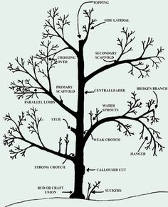 prune a peach tree with a diagram | pruning-diagram.jpg