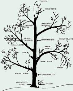 prune a peach tree with a diagram | pruning-diagram.jpg