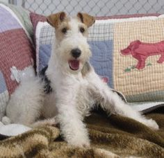 Introduction To Owning A Wire Fox Terrier. Rule 1-your life is about to be transformed.