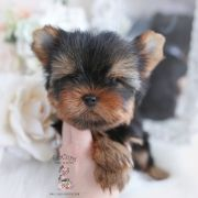 Toy or Teacup Yorkies for sale   Teacup Puppies & Boutique Teacup Yorkie For Sale, Cute Teacup Puppies, Yorkie Puppy For Sale, Yorkie Dogs, Cute Puppies, Cute Dogs, Yorkies, Wire Fox Terrier Puppies, Yorkshire Terrier Puppies