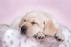 Pictures of Labrador Retriever puppies at their cutest...