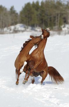 Two Arabian horses playing in snow
