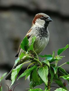 Many people regard HOUSE SPARROWS as undesirables in their yards, since they aren't native and can be a menace to native species.