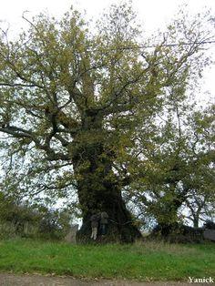 Frankrike - Bois de la Meilleraye - Chêne de la Prennerie