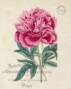 Image result for peonies meaning