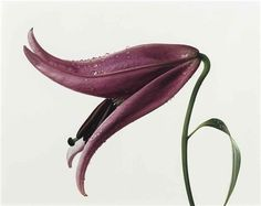 Irving Penn  'Lily, Imperial Pink' (New York)  1971