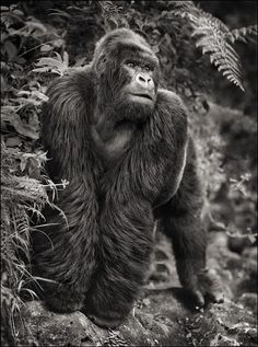 Gorilla on Rock, Parc de Volcans 2008 Nick Brandt