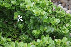 small, compact shrub with rounded glossy green leaves. it has an attractive white, sweetly scented, star-shaped flower. Pool Plants, Garden Plants, Liriope Muscari, Planting Succulents, Planting Flowers, Coastal Gardens, Modern Gardens, Tropical Gardens
