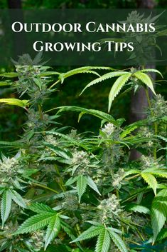 Beginners Outdoor Cannabis Growing Tips - Growing Cannabis Outdoors Growing Weed, Cannabis Growing, Growing Herbs, Weed Facts, Marijuana Facts, Cannabis Cultivation, Cannabis Plant, Cannabis Edibles, Medical Marijuana