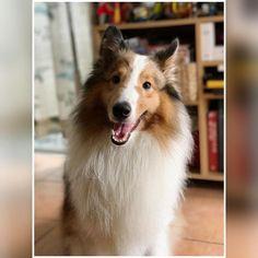 https://flic.kr/p/UGiFRi | Foto Model  #sheltie #shetlandsheepdog #dog #dogphotography #pet #dogofinstagram