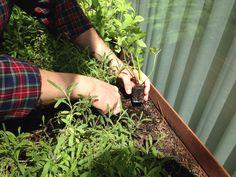 Chef taking care of the veggie garden at #hotelpulitzerbarcelona