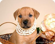 Palmer is a Mastiff Boxer SharPei mix available for