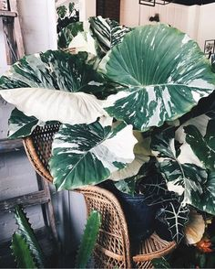 alocasia macrorrhiza variegata Best Picture For tropical garden ideas exotic flowers For Your Taste Cool Plants, Green Plants, Live Plants, Tropical Garden, Tropical Plants, Plantas Indoor, Elephant Ear Plant, Elephant Ears, Plants Are Friends
