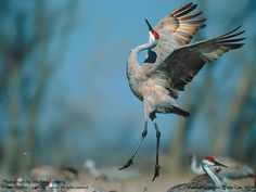 Our kids gave us this Michael Forsberg photo. A sandhill crane appears to leap for joy as it performs a courtship dance on a secluded wet meadow in the Platte River valley of south central Nebraska. Crane Dance, Crane Bird, Mothman, Great Plains, Fauna, Pics Art, Wild Birds, Wild Life, Beautiful Birds