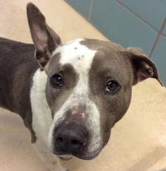 Adopt Darcey, a lovely 3 years Dog available for adoption at Petango.com.  Darcey is a Terrier, American Pit Bull / Mix and is available at the Hillsborough County Pet Resources in TAMPA, FL