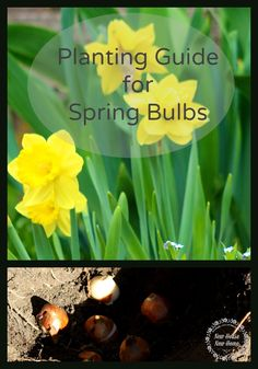 It's not too late to plant bulbs for a spring garden. This planting guide gives you tips on spacing, fertilizing and planting.