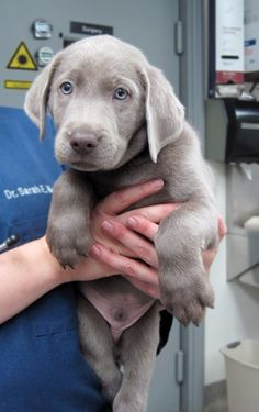 Heard of Chocolate, Yellow and Black, but have you ever seen a Blue Lab? - Imgur