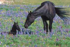 Pair Horses.
