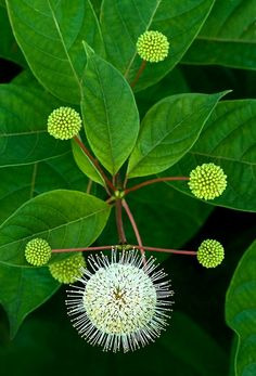 Buttonbush. Photo by Cindy Dyer