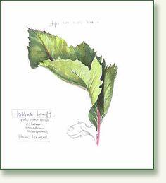 Pencil and Leaf: Leaf of the Day: Kohlrabi Leaves .yet more drawings Leaf Drawing, Painting & Drawing, Watercolor Paintings, Watercolors, Botanical Drawings, Botanical Illustration, Botanical Art, Arte Elemental, Tree Drawings Pencil
