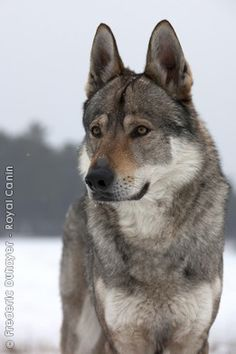CZECHOSLOVAKIAN WOLFDOG- Follow Me: www.orlandoweddingsinger.com www.pinterest.com/dowopdave http://twitter.com/davidfroberts https://www.facebook.com/pages/David-Roberts-and-the-Sounds-of-Sinatra/271766759522088 http://www.linkedin.com/profile/view?id=50182491 #davidroberts