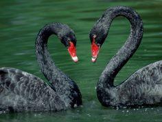 Black Swan Hearts