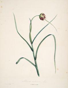 Allium sativum. La botanique de J.J. Rousseau. Paris, Delachaussée, XIV, 1805.