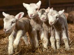 Denmark bans halal and kosher slaughter as minister says 'animal rights come before religion' - this is great!