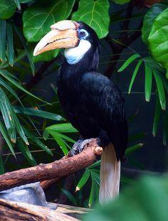 Blyths Hornbill (Rhyticeros plicatus)