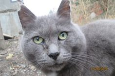"Today, Friday, September 18, 2015 my dear purr baby Grey crossed the Rainbow Bridge. Grey was one of my original ""6 pack"" when I started the feral colony almost 4 years ago. His gentle spirit was always first to greet me.Grey was an unwanted 'feral' but he was loved by me. His spirit is within my heart forever, and now he is Home. Feral Cats, Rainbow Bridge, Humane Society, 4 Years, Fundraising, September, Baby, Friday, Spirit"