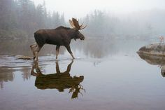 Movin Out Bull Moose in Fog with Reflection Moose Hunting, Bull Moose, Moose Art, Moose Decor, Beautiful Creatures, Animals Beautiful, Cute Animals, Moose Pictures, Deer Family