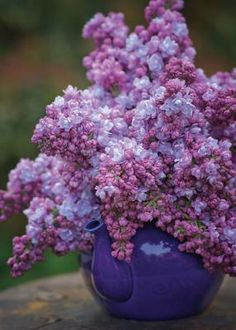 Lovely local lilacs